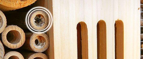 Insektenhotel mit Biene im Bambusrohr